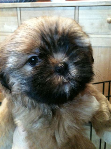 shih tzu teddy shih tzu haircuts teddy cut hairstyle gallery