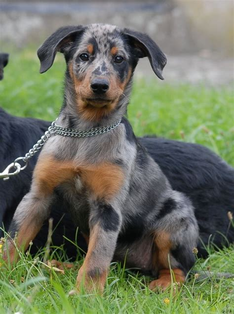 beauceron puppies really animal pictures memes