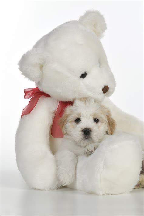 teddy puppies tiara teddybear dogs