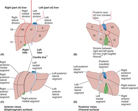 sections of liver chapter 2 abdomen part 2 liver essay medicine and