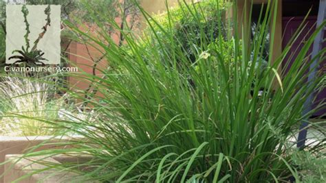 bi color iris fortnight moraea bicolor dietes bicolor civano