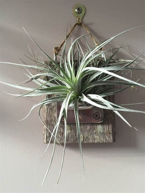 timber wall mount with air plant 171 living art store