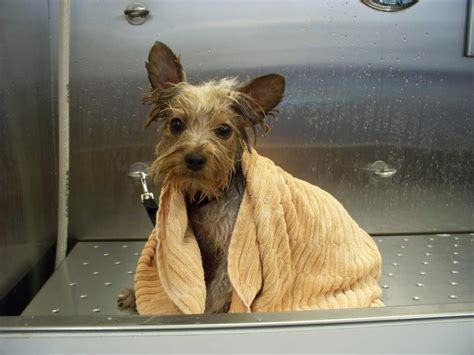 how to groom a yorkie yourself learn to groom your services learn to groom your