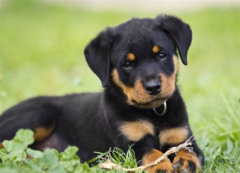 posh puppy 15 most posh breeds simply for dogs