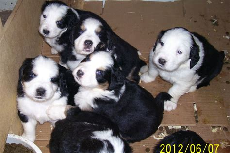 great bernese mountain great dane bernese mountain mix www imgkid the image kid has it