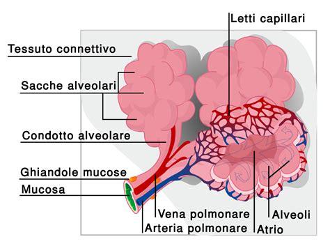 vasi polmonari apparato respiratorio thinglink