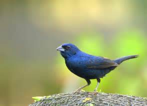 blue colored birds the jacarina finch a blue black for the small