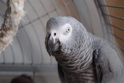 pappagallo cenerino alimentazione animali salvati pappagallo cenerino soccorso da un passante