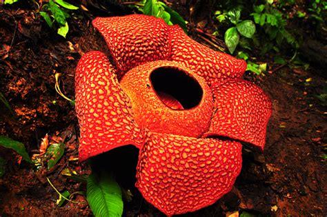 Whith Raflesia berkas raflesia arnoldi jpg bahasa indonesia