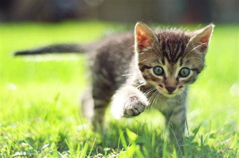 wann sind katzen rollig wann verlieren katzen ihre milchz 228 hne asklubo