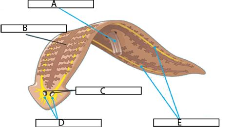 planarian diagram image gallery labeled flatworm