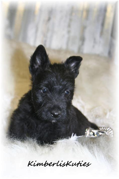 imperial yorkies shih tzu scottish terrier breeders teacup puppies yorkie breeds picture