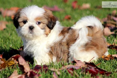 prices of shih tzu puppies shih tzu puppy for sale near lancaster pennsylvania 182032af 34b1