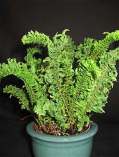 Tanaman Pakis Sarang 1 tanaman pakis keriting curly fern bibitbunga