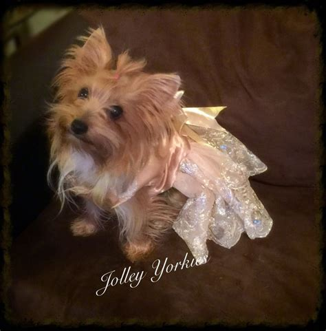 blue and gold yorkie puppies for sale 97 best images about yorkie on vests costumes and