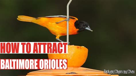 how to attract baltimore orioles backyard diners and