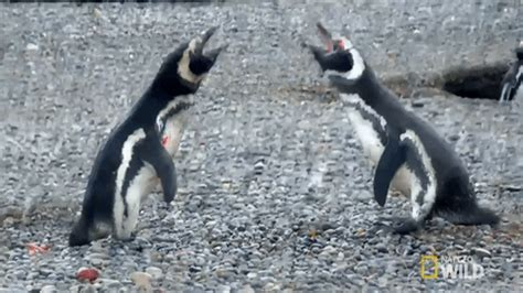 nat geo penguin gif by nat geo wild find & share on giphy