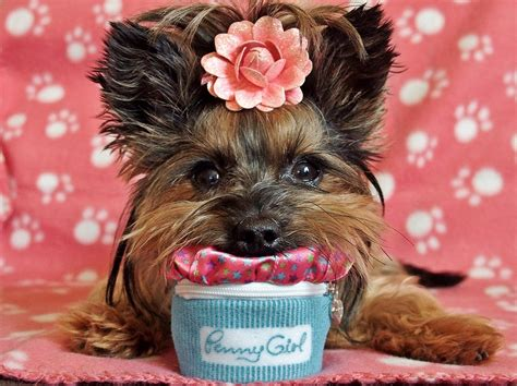 yorkie hip problems bakery quot a house is not a home without a pet quot