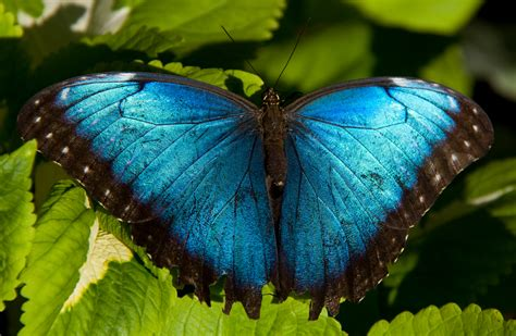 file blue morpho 7974443510 jpg wikimedia commons