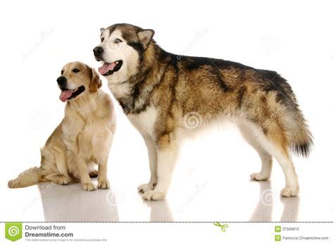 alaskan malamute x golden retriever alaskan malamute and golden retriever stock image image 27569815
