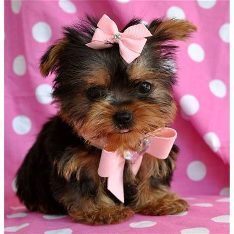 yorkies with bows tea cup yorkie with a pink bow awww