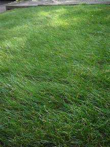 related keywords suggestions for short fescue