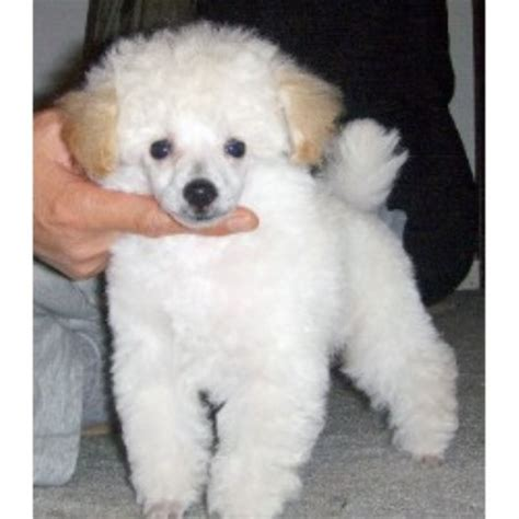 puppies for sale longview wa kandyland poodles poodle breeder in longview washington