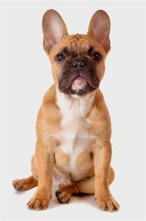 Psy rasy Buldog francuski | Na psim tropie