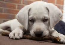 when do lab puppies stop growing when do dogs stop growing labrador puppy growth chart and faq