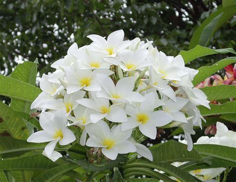 imagenes de flores jasmin v e r d e c h a c o jazm 237 n magno frangipani