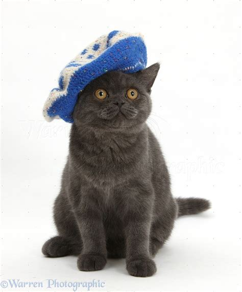 Cat Beret Hat grey kitten wearing a blue knitted beret hat photo wp18231