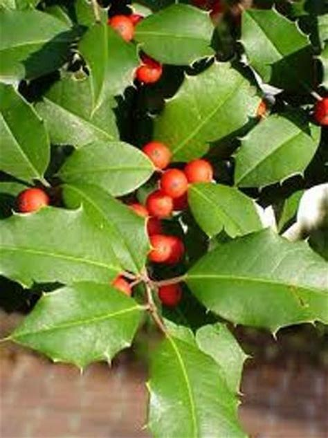 QTY 10 EVERGREEN AMERICAN HOLLY SEEDLINGS