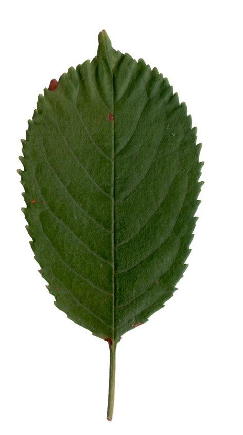 cherry leaf by brianhanson2nd on deviantart