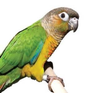 Fancy Green Cheek Conure   Live Birds   PetSmart