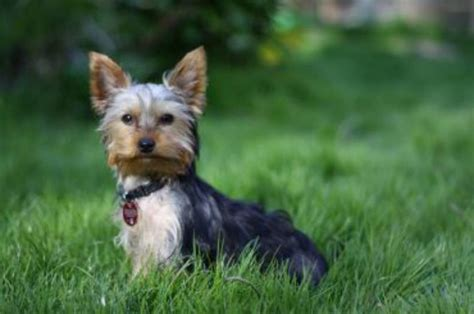 are yorkies smart dogs 37 smartest breeds ranked 9 is most surprising