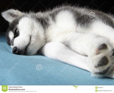 husky puppy sleeping sleeping husky puppy stock image image of black white 6845579