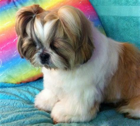 shih tzu forum id 233 e coupe shih tzu forum de discussion sp 233 cialis 233 sur
