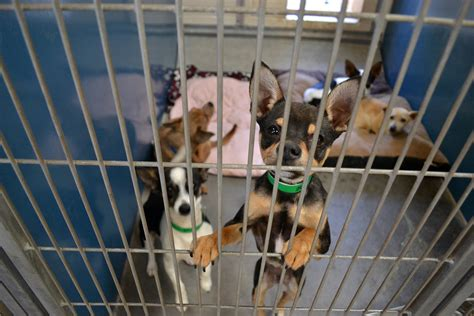 maricopa county pound packs of chihuahuas are not