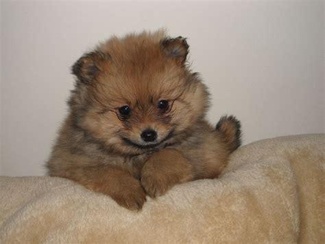 teacup pomeranian information and facts stunning teacup pomeranian puppys rossendale lancashire pets4homes
