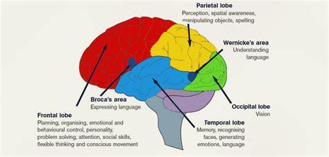 brain functions diagram cerebrum anatomy diagram tonsil anatomy diagram elsavadorla