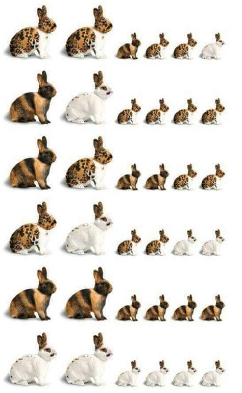 mini rex rabbit colors color chart animals rabbit breeds mini rex