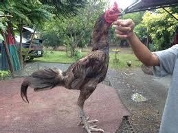 Suplemen Pakan Ayam suplemen dan doping untuk ayam bangkok situs ayam