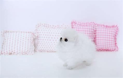 pomeranian puppies for sale winnipeg teacup pomeranian puppies for sale durban dogs puppies