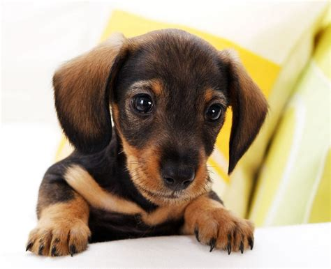 puppys that stay small small dogs that stay small pet photos gallery g5nbq1ebvx