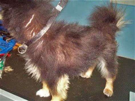 pomeranian grooming clippers clipper alopecia atomic canine