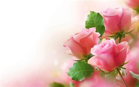 pink rose backgrounds wallpapertag