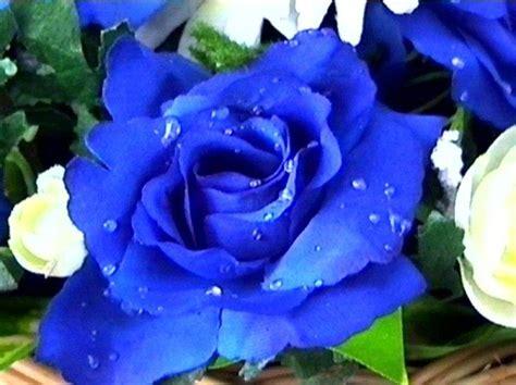 imagenes de rosas blancas y azules la rosa azul rosas info