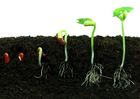Garden Hoe Types - bean seed germination