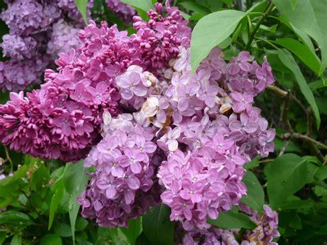 lilac bush slmc lilac bush