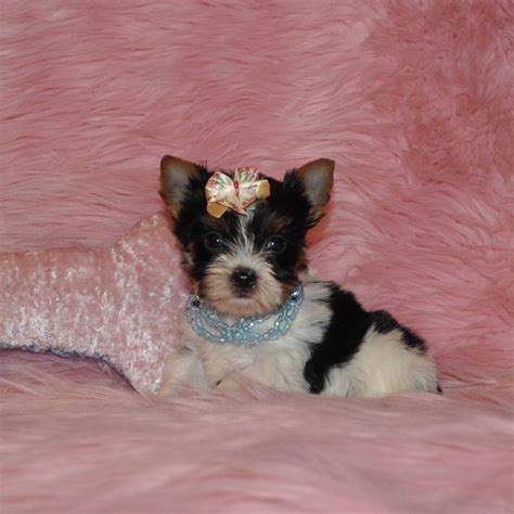 parti color yorkies for sale parti yorkies yorkie puppies yorkie puppy yorkies for sale parti yorkie